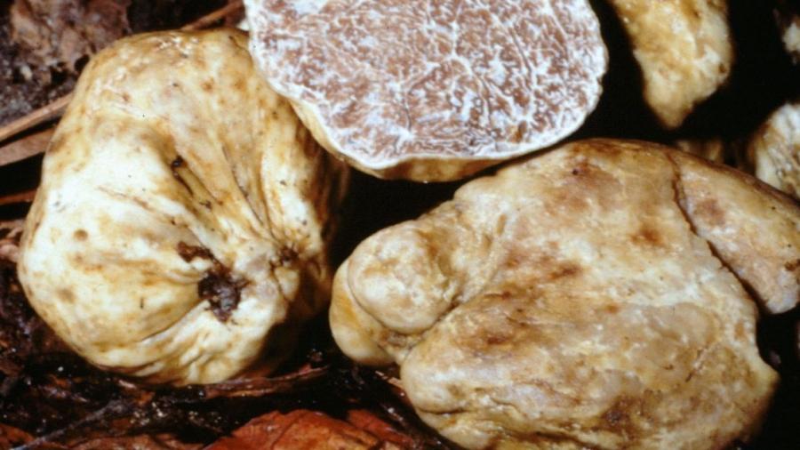 tartufo-bianco