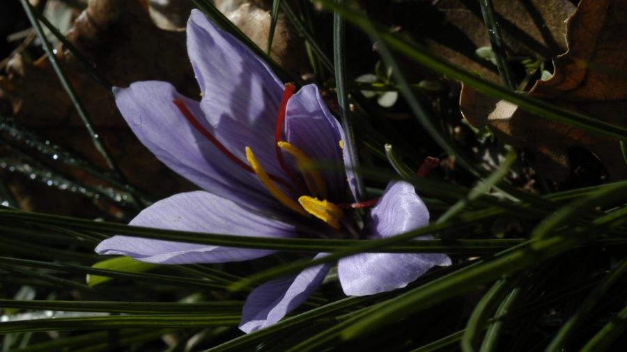 Zafferano fiore2